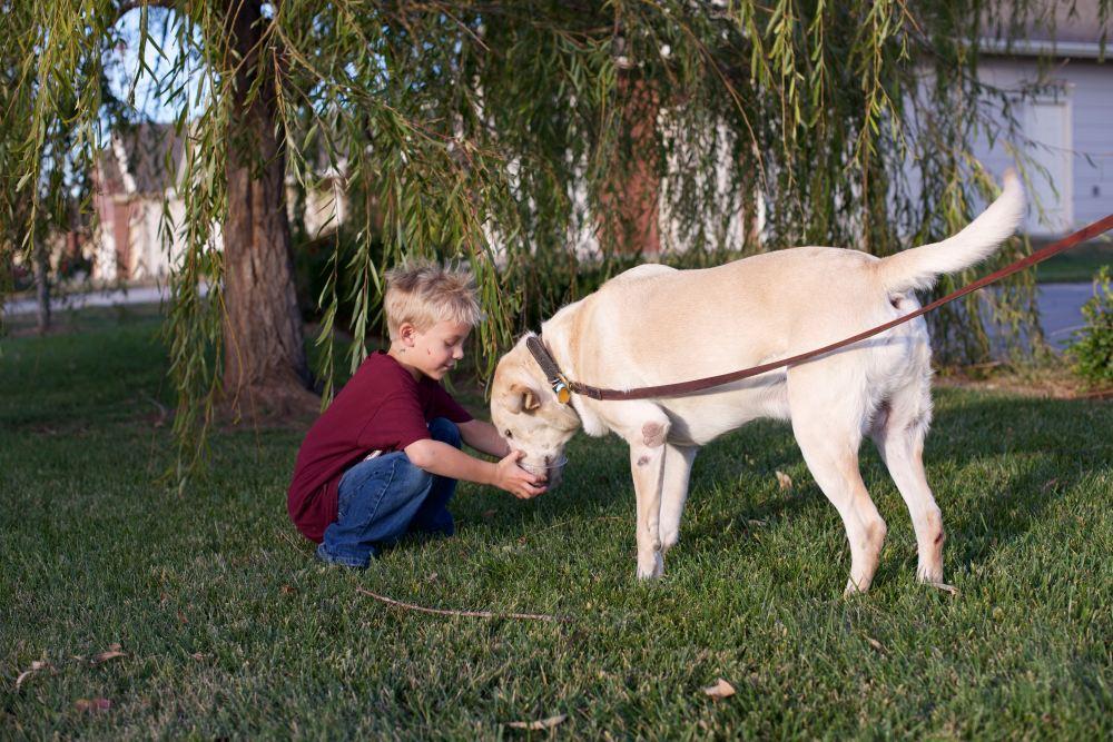 labrador and boy
